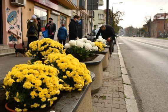 Na Święto Niepodległości zasadziliśmy chryzantemy wzdłuż ulicy 11 listopada!